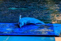 Delfino a dorso d'asino Indo-pacifico sveglio (Sousa chinensis) Immagine Stock Libera da Diritti