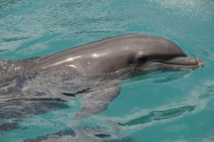 Delfino felice Fotografie Stock Libere da Diritti