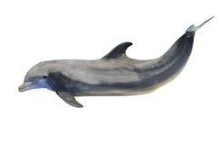 Delfino isolato su bianco Fotografia Stock Libera da Diritti