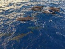 Delfino macchiato Fotografie Stock