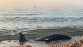 Delfino morto nel mare archivi video