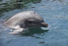 Delfino nel mare Fotografie Stock