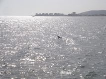 Delfino nel tramonto, costa della città di Cumana, Venezuela Immagine Stock Libera da Diritti