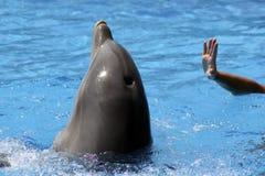 Delfino nell'addestramento Fotografia Stock