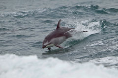 Delfino parteggiato bianco in Columbia Britannica Immagini Stock