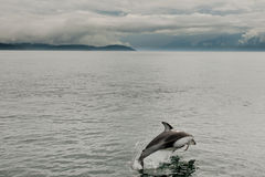 Delfino parteggiato bianco pacifico fotografia stock