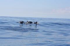 Delfino selvaggio Fotografie Stock