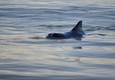 Delfino selvaggio amichevole Fotografia Stock