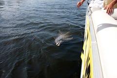 Delfino selvaggio di Florida Immagini Stock