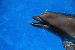 Delfino sorridente nuotata dei delfini Immagini Stock