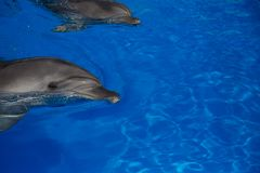 Delfino sorridente nuotata dei delfini Fotografia Stock