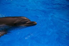 Delfino sorridente nuotata dei delfini Fotografia Stock Libera da Diritti