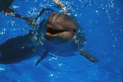 Delfino sorridente nuotata dei delfini Immagini Stock Libere da Diritti