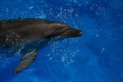 Delfino sorridente nuotata dei delfini Immagine Stock
