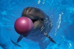 Delfino sorridente Nuotata dei delfini nel raggruppamento Immagine Stock Libera da Diritti