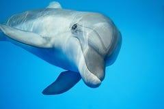 Delfino sotto acqua Fotografie Stock Libere da Diritti