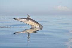 Delfino Sudafrica Fotografia Stock