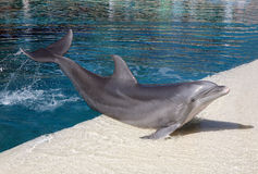 Delfino in un'acqua blu Immagine Stock