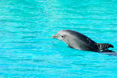 delfinpölsimning Royaltyfria Bilder