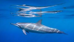 Delfinreflexioner royaltyfri foto
