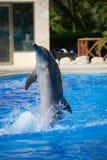 Delfinshow Royaltyfri Fotografi