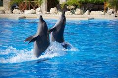 Delfinshow Royaltyfri Foto