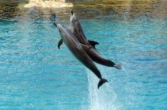 Delfinshow i havsvärlden Gold Coast Australien Arkivfoton