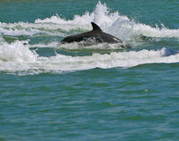 delfinsimning Arkivfoto