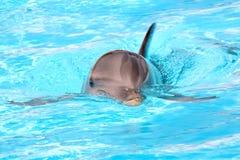 Delfinsimning i akvarium Arkivfoto