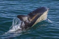 Delfinsimning i Algarven Arkivfoto