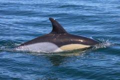 Delfinsimning i Algarven Royaltyfri Foto