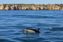 Delfinsimning i Algarven Arkivbild
