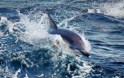 Delfinsimning i havet av Tasmanien Royaltyfria Foton