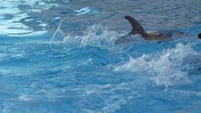 Delfinu żebro nad wodą w błękitnym basenu zwolnionym tempie zbiory wideo