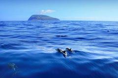 DELFINU CORVO RODZINNA wyspa AZORES Fotografia Stock
