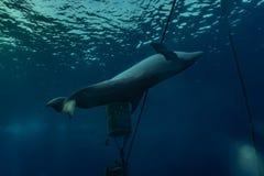 Delfinu dop?yni?cie w Czerwonym morzu zdjęcie stock
