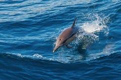 Delfinu doskakiwanie Obraz Stock