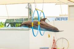 Delfinu doskakiwanie przez obręcza Fotografia Stock