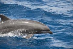 delfinu oceanu powierzchnia Obrazy Stock