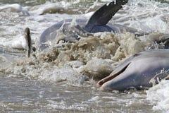Delfinu pasemka karmienie Fotografia Stock