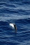 Delfinu pikowanie w morzu fotografia royalty free