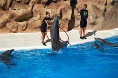 Delfinu przedstawienie w Loro parku Loro Parque Hiszpania obraz stock