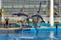 Delfinu przedstawienie w Oceanograficznym Walencja w Hiszpania Obrazy Stock