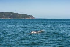 Delfinu rodzinny bawić się blisko do wybrzeża Zdjęcie Royalty Free