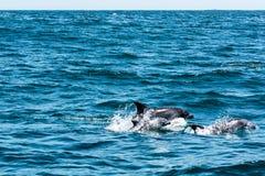 Delfinu rodzinny bawić się w wodzie Fotografia Stock