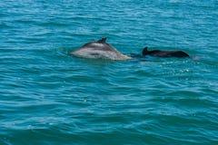 Delfinu rodzinny bawić się w wodzie Fotografia Royalty Free