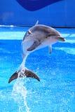 delfinu skok Obrazy Stock