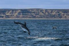 Delfinu skok Obraz Stock