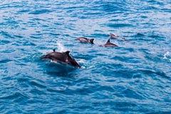 Delfinu strąk Obraz Stock