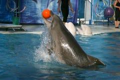 delfinunderhållning Arkivfoton